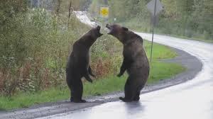 В Канаде два медведя выясняли отношения прямо на трассе