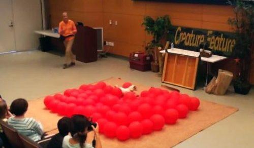 Самый счастливый пёс в мире прокусил 100 воздушных шариков