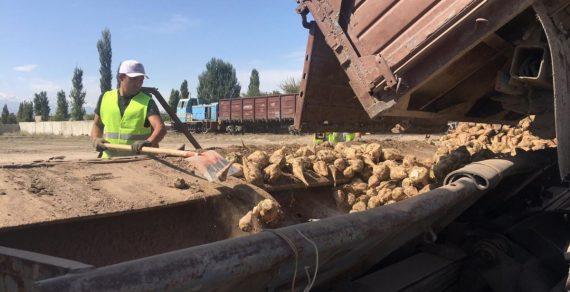На полях Чуйской области начался сбор урожая сахарной свёклы