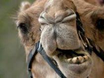 Американка укусила верблюда за гениталии,  чтобы спасти собаку