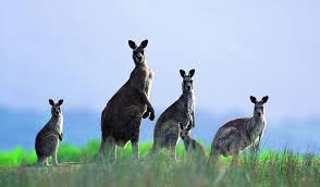 В Австралии решили массово отстреливать кенгуру