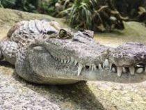Из желудка аллигатора достали невероятный клад