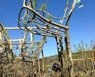 Британцы научились выращивать стулья из деревьев