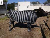 Коров превращают в зебр, но вовсе не ради шутки