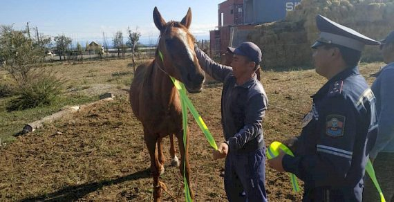 На Иссык-Куле лошадям завязывают светоотражающие ленты
