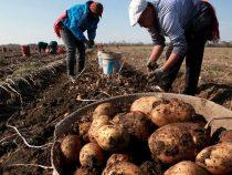 В этом году в КР собрано 945,5 тысяч тонн овощей