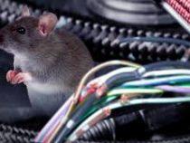 В Эстонии крысы лишили жителей государственного Интернета
