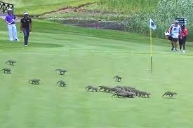 Игривые мангусты сорвали турнир по гольфу в ЮАР