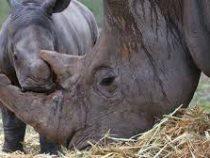 Учёные разработали технологию производства искусственного рога носорога