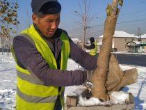 В Бишкеке начали утеплять молодые саженцы