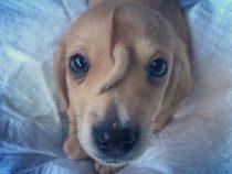 В США найден щенок, на лбу которого растет хвост