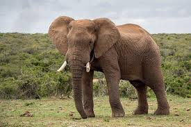 В ЮАР начали производить джин из слоновьего навоза