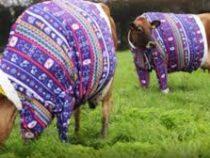 Коров одели в свитеры в честь праздника и ради привлечения туристов