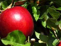 ВСША начали продавать яблоки, которые не портятся целый год