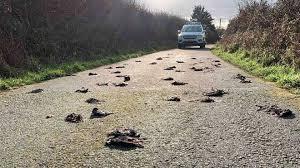 Сотни мертвых птиц нашли на одной из дорог Уэльса