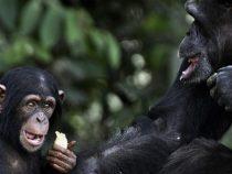 Шимпанзе научились «играть» рок-музыку на деревьях