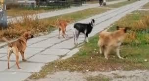 Настоящая банда: козел возглавил стаю собак на Днепропетровщине
