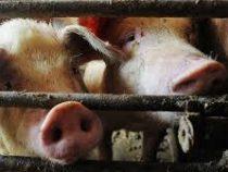 Свиньи съели собственного хозяина в Польше