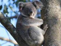 Британскую журналистку разыграли, заставив надеть бронежилет перед общением с коалой