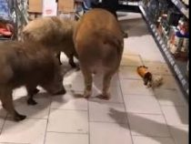 В Тюмени три свиньи ворвались в супермаркет и выпили коньяк