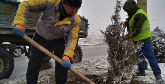 В Бишкеке продолжаются зимние посадки хвойных деревьев