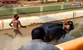 Власти Индии проверят чемпиона гонок с буйволами, якобы побившего рекорд Усэйна Болта