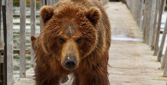 В США по улицам Калифорнии прогулялся огромный медведь