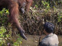 Орангутанг протянул руку помощи «тонущему» мужчине