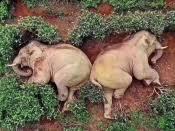 В Китае слоны ворвались в деревню, выпили вино и уснули на чайной плантации