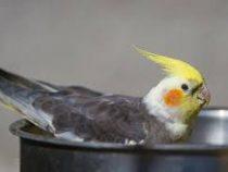Болтливый попугай едва не отправил хозяина за решетку