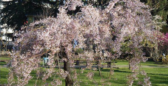 В Японии официально открыт сезон цветения сакуры