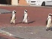 Пингвины разгуливают по опустевшему Кейптауну