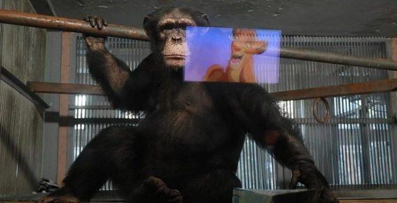 Скучающим без посетителей шимпанзе начали показывать мультики