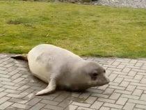 Во дворе у американца поселилась самка морского котика