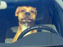В США копы гонялись за авто с собакой за рулем