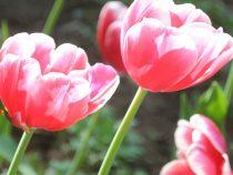 Миллионы тюльпанов уничтожили в Нидерландах из-за COVID-19