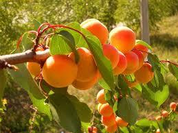 В Лейлекском районе начался сбор урожая абрикосов