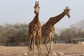 Танцевальный поединок: необычная драка жирафов в Замбези стала хитом Сети