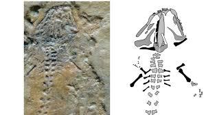 В Кыргызстане обнаружили останки саламандры, жившей 230 миллионов лет назад