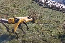 Изобретатели научили собаку-робота пасти овец