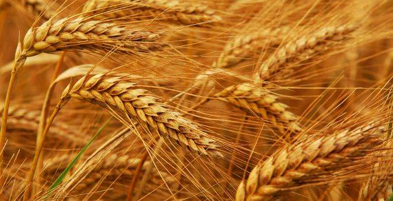 Минсельхоз прогнозирует высокую урожайность зерновых культур в этом году