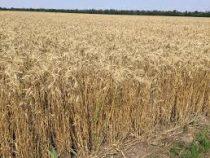 Посев пшеницы и ячменя в Кыргызстане завершен на 96%