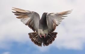 В Индии голубь «отсидел» три года в тюрьме