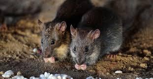 В Украине в крупной недостаче зерна обвинили мышей