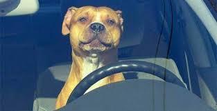 В Вашингтоне полиция гонялась за автомобилем с собакой за рулем