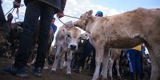В Ат-Баши откроется скотный рынок, но не для всех