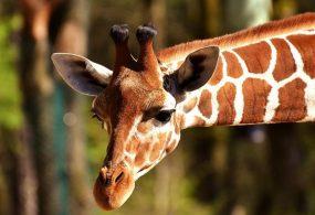 В Африке жираф устроил погоню за туристами