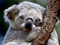Уже через 30 лет в Австралии могут исчезнуть коалы