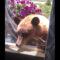«Кыш»! Медведь пытался залезть в дом к американцам через окно