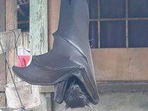 На Филиппинах заметили летучую мышь размером с человека